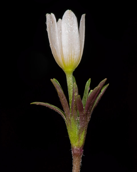 Two-flowered anemone
