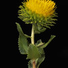 Curlycup gumweed