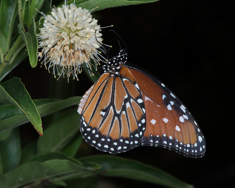 Buttonbush with queen butterfly