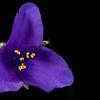 Stemless spiderwort