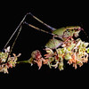 Fork-tailed bush katydid on longleaf buckwheat