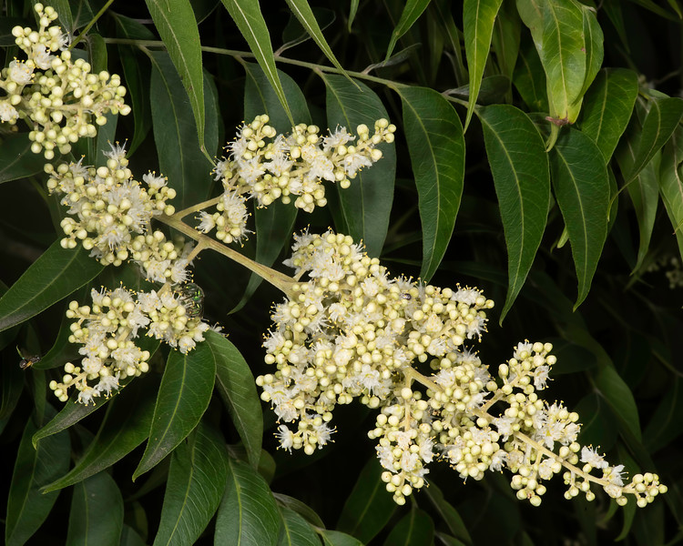 Western soapberry