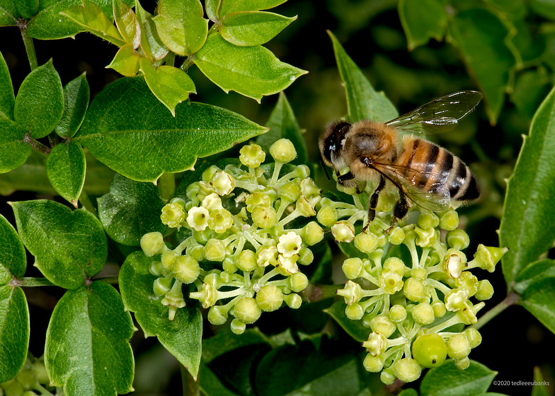Peppervine with western honey bee