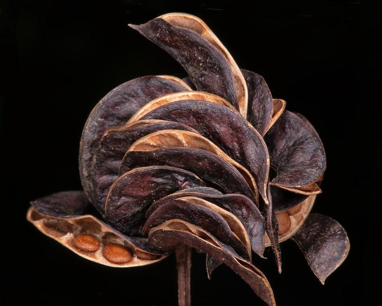 Illinois bundleflower