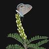 Texas kidneywood with ceraunus blue