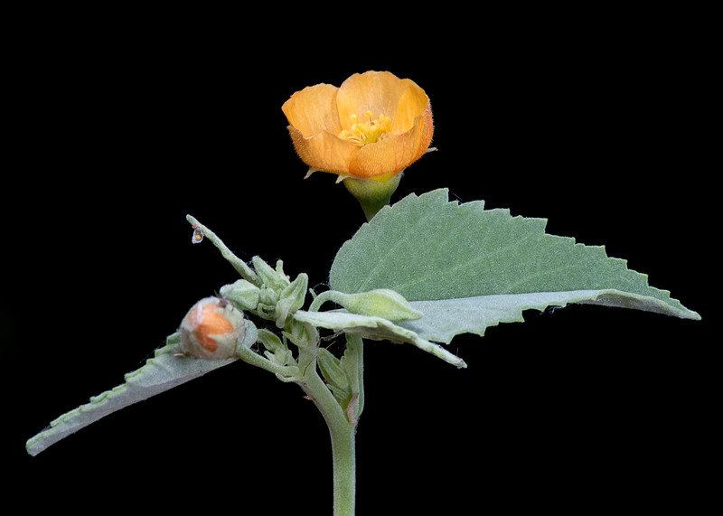 Indian mallow