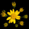 Golden groundsel