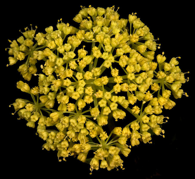 Texas parsley
