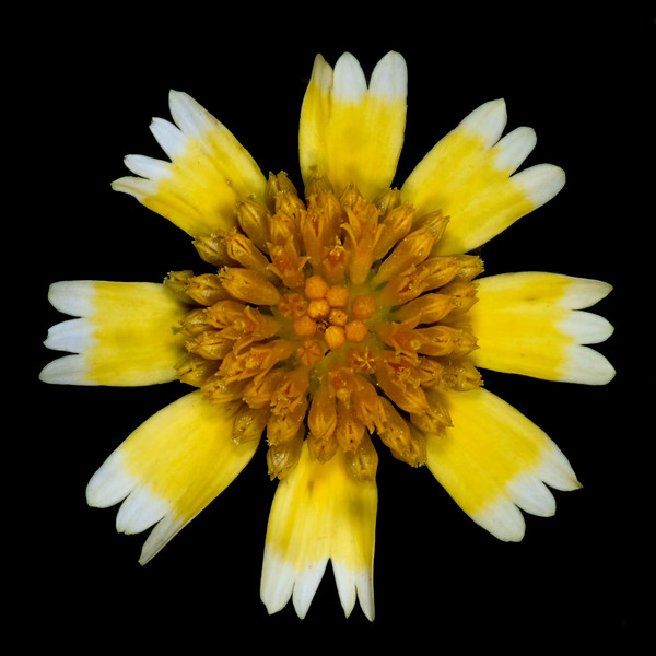 Huisache daisy