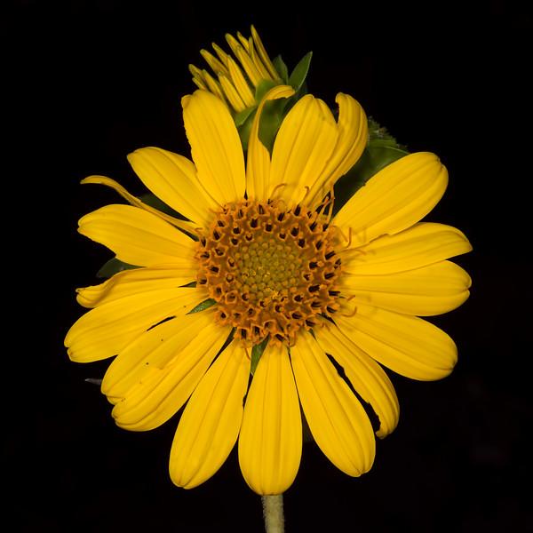 Starry rosinweed