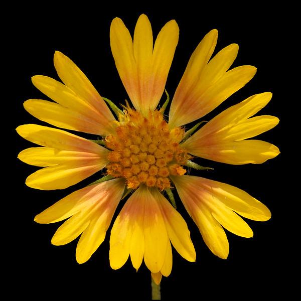 Firewheel (yellow variant)