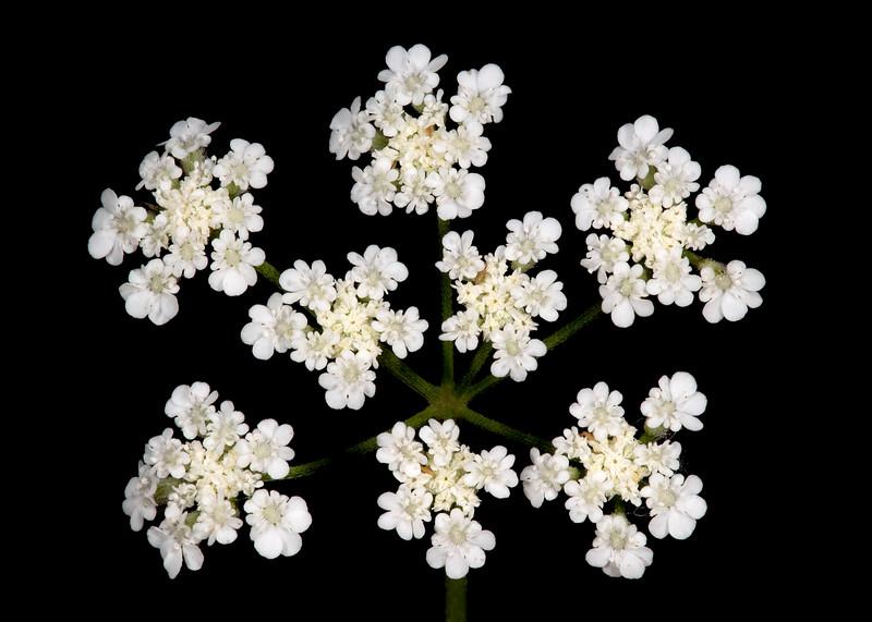 Spreading hedgeparsley