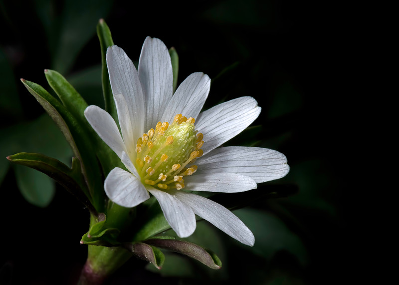Tenpetal anemone