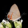 Dusky-blue groundstreak on frostweed