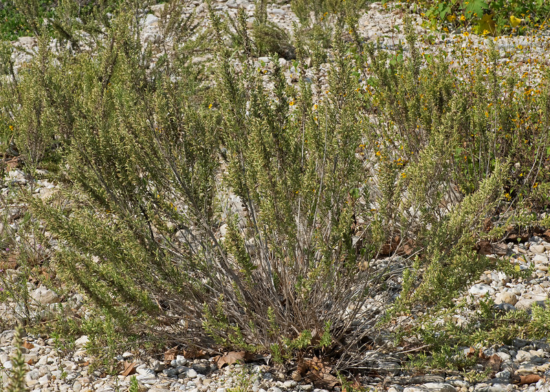 Leafy brickellbush