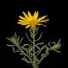 Sticky granite daisy