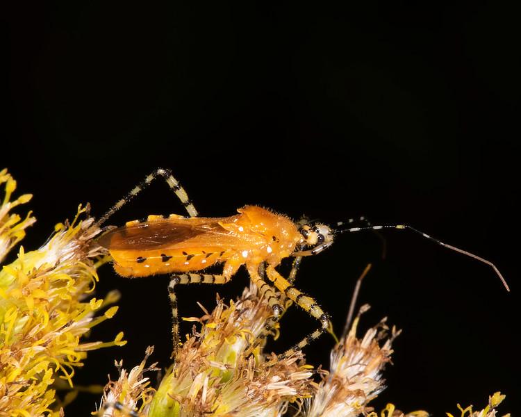 Tall goldenrod with orange assassin bug