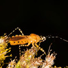 Tall goldenrod with orange assassin bug