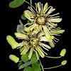 Bracted passionflower