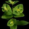 Reticulate-seeded spurge