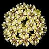 Antelope-horns milkweed