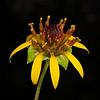 Nerve-ray daisy