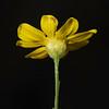 Prairie broomweed