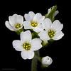 Broadpod whitlowgrass
