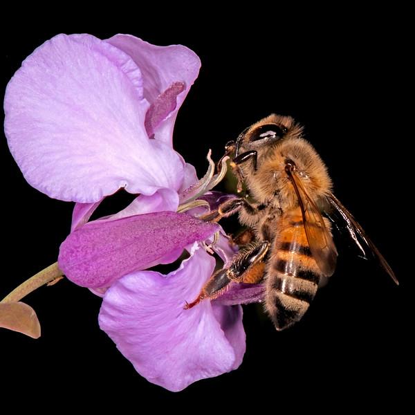 Bracted twistflower with western honey bee