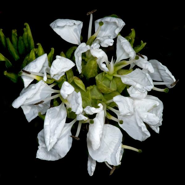 Anacho orchid tree