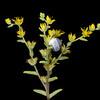 Yellow stonecrop