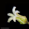 Bearded swallow-wort