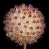 Pincushion daisy