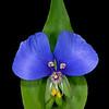 False dayflower