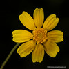 Fineleaf fournerve daisy
