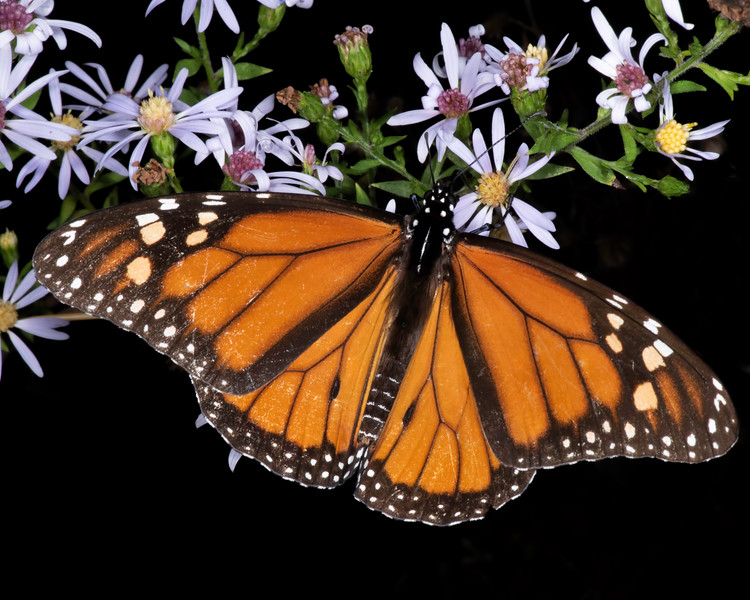 Texas aster with monarch butterfly