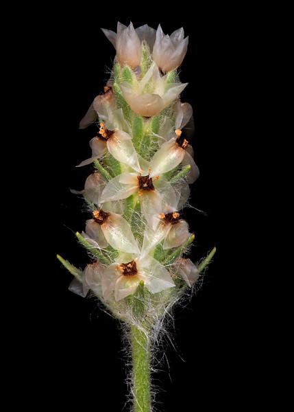 Heller's plantain
