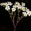 Flowered euphorbia