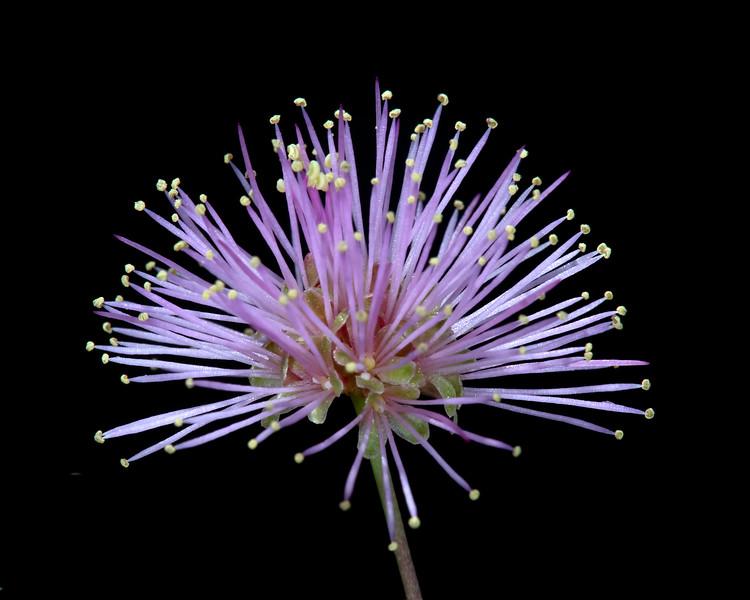 Fragrant mimosa