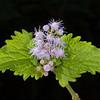 Blue mistflower
