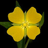 Mexican primrose-willow