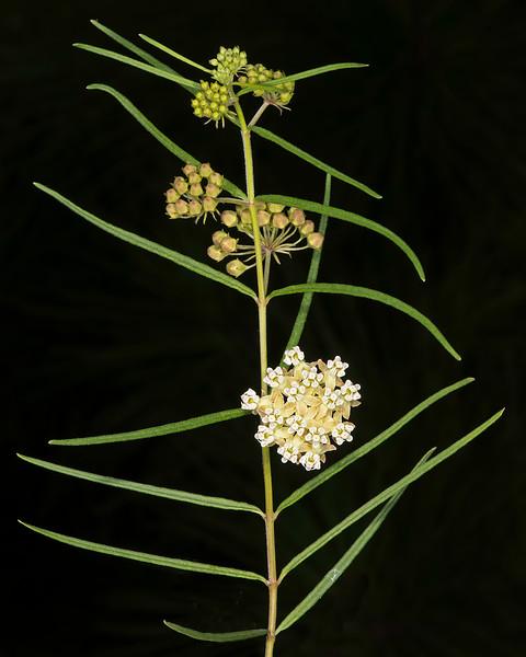 Slim milkweed