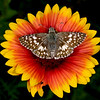 Firewheel with common checkered skipper