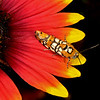 Firewheel with webworm moth