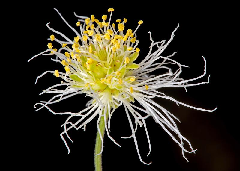 Velvet bundleflower
