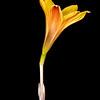 Copper lily