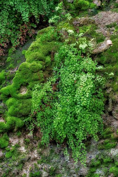 Maidenhair fern seep along Brushy Creek