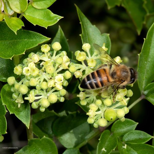 Western honey bee on peppervine