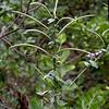 Bracted twistflower