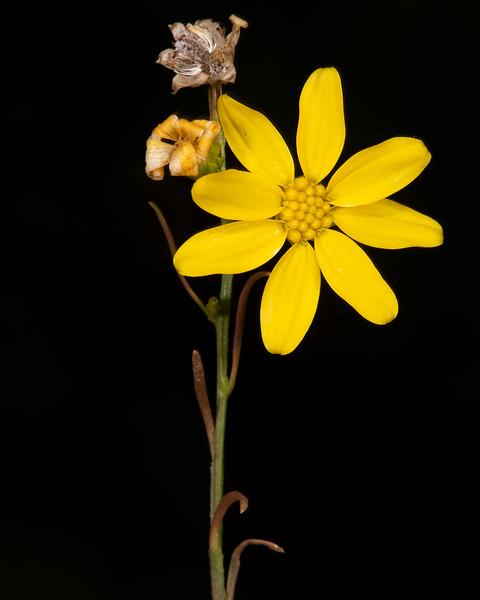 Texas broomweed